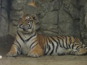 日本平動物園-トラ-