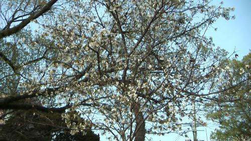 春が来ていました