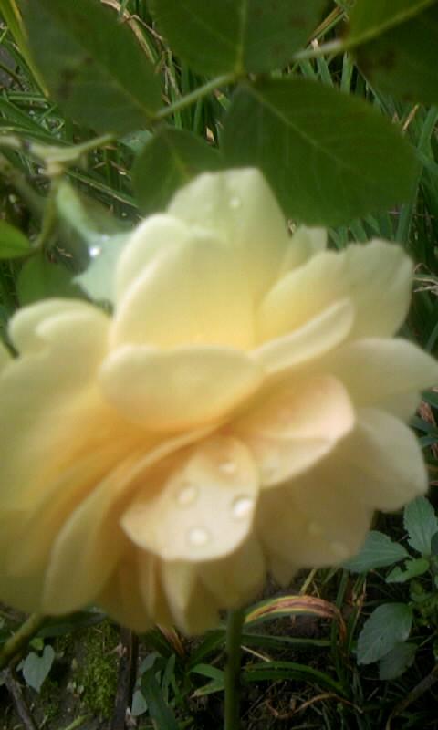 090729_133430黄色い薔薇