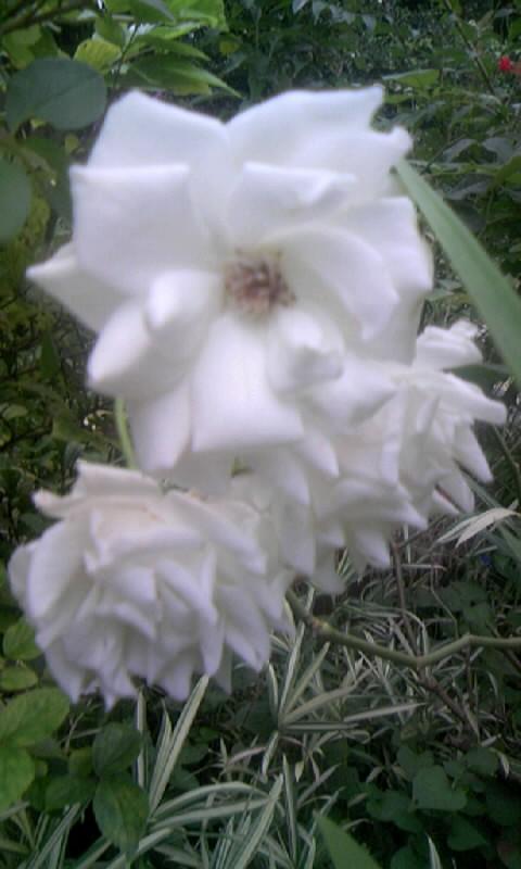 090731_063445白薔薇