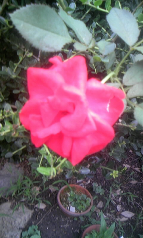 090731_063939紅い薔薇