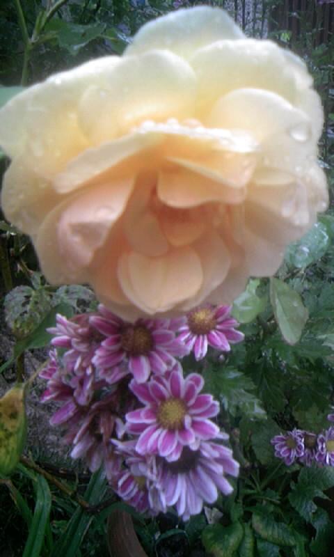 090802_091745薔薇