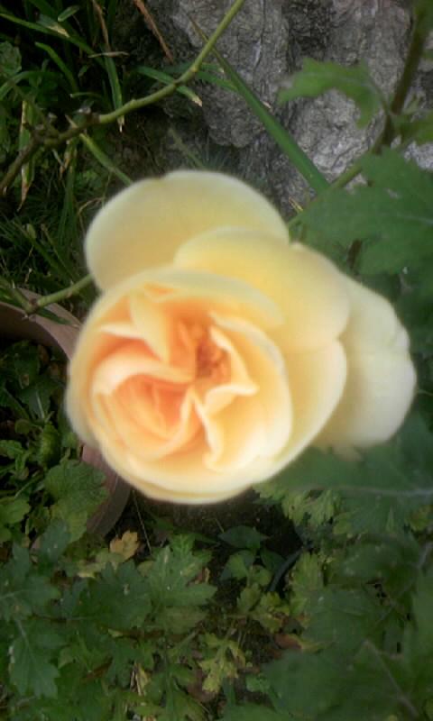 090806_091513薔薇