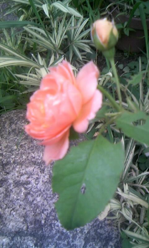 090816_060802薔薇