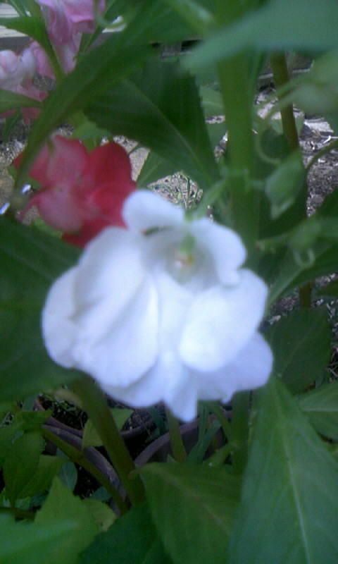 090824_063158鳳仙花の白