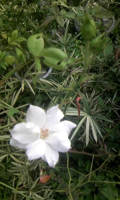 090826_084444白薔薇