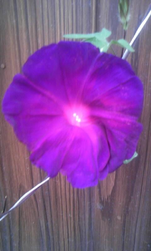 090904_060412朝顔 暁の紫