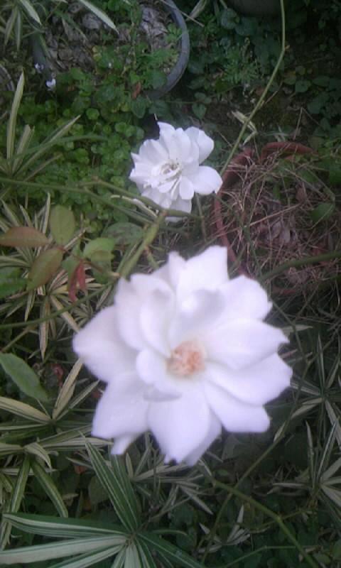 090904_060808白薔薇