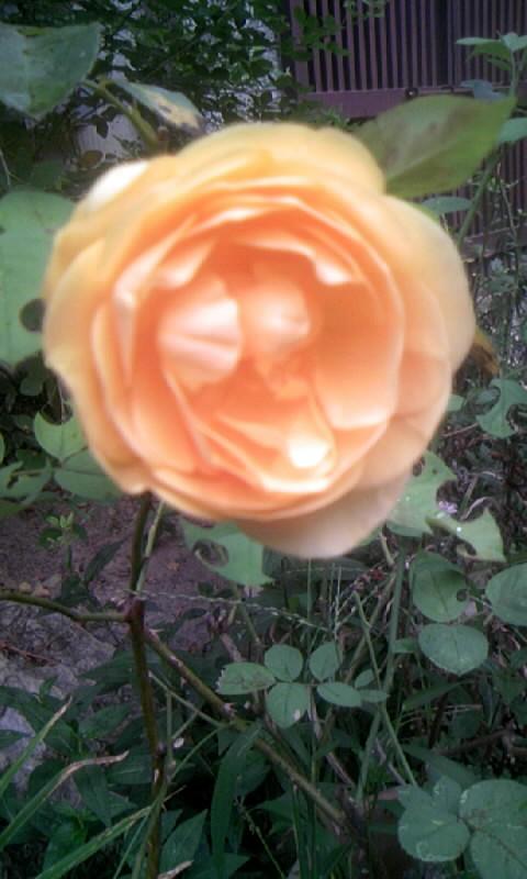 090904_061017薔薇