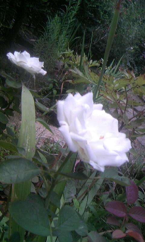 090907_062047白薔薇