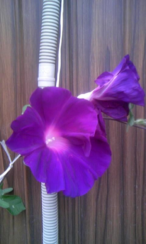 090907_062333紫の朝顔