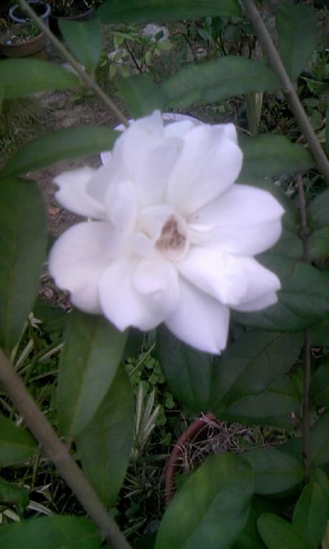 090912_074250白薔薇