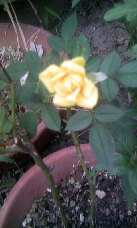 090912_075953黄色いミニ薔薇