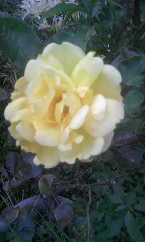 090920_173759薔薇