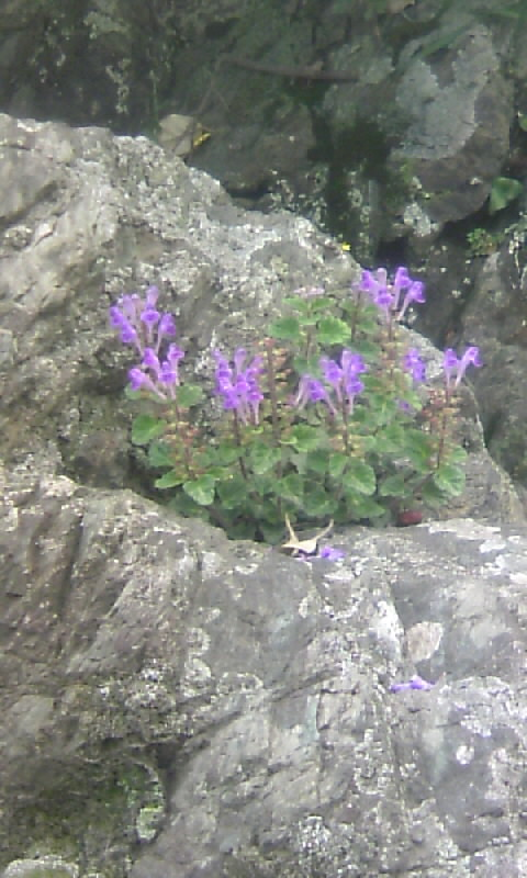 110513_105717青紫の花