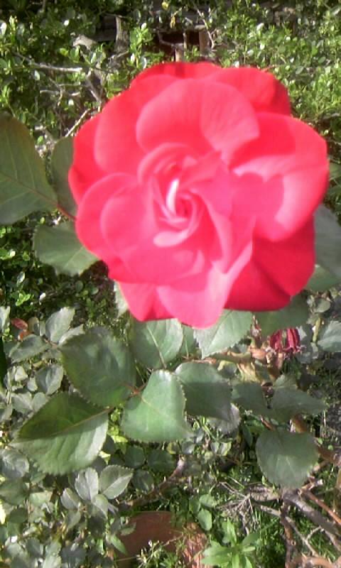 110513_163410紅い薔薇