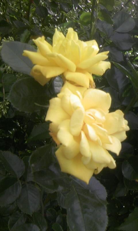 110513_163441黄色い薔薇