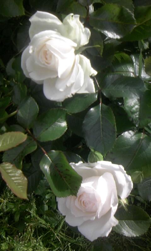 110513_163502白い薔薇