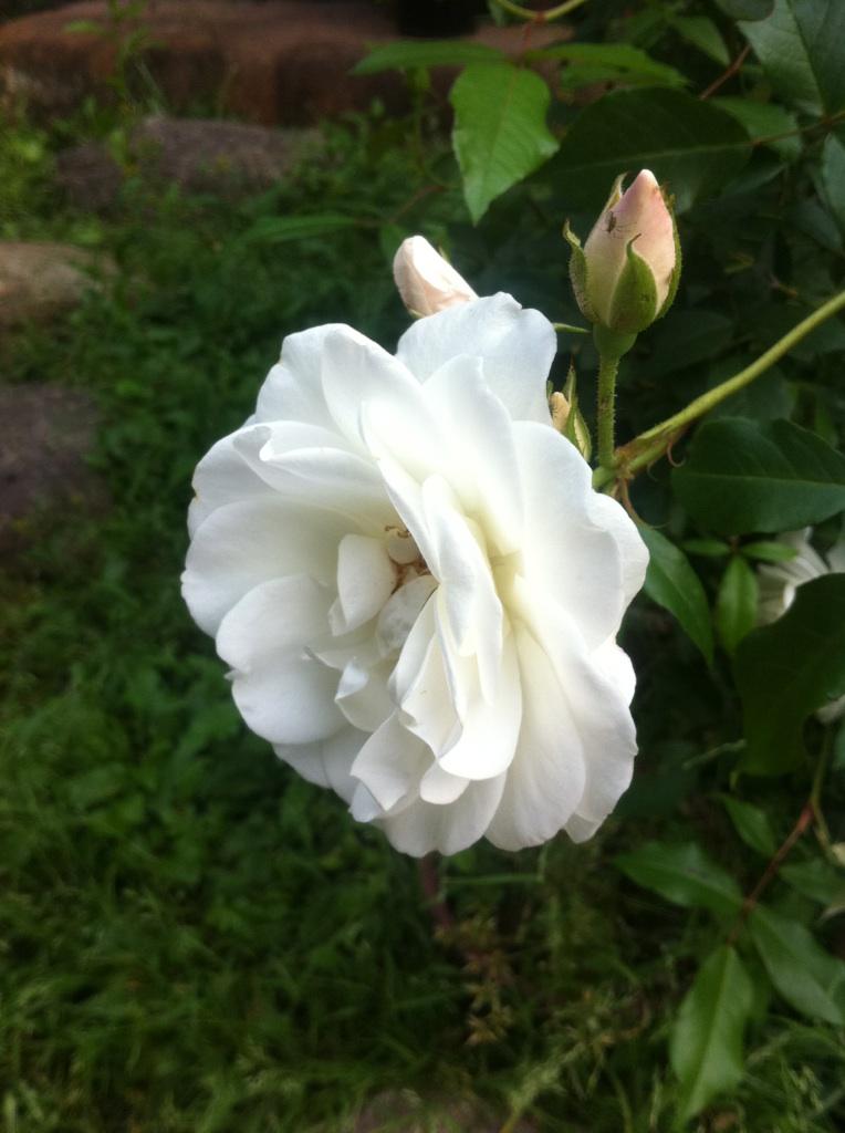 IMG_1050白薔薇