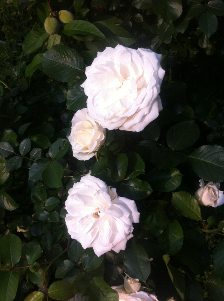 IMG_2147白い薔薇