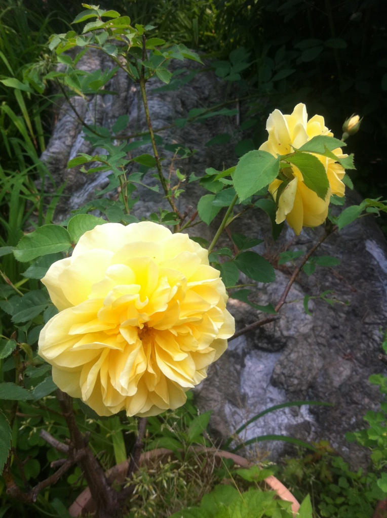 IMG_4031薔薇