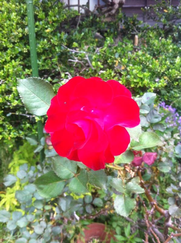 IMG_4204紅いバラ