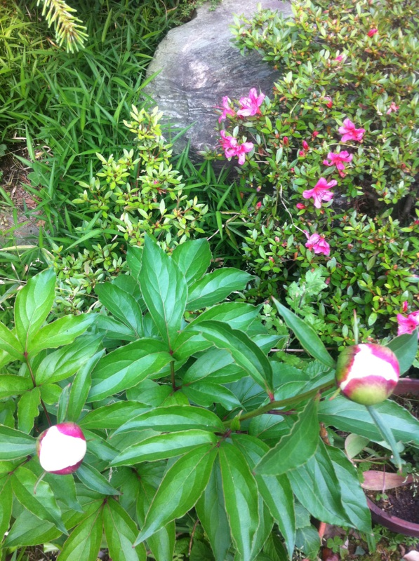 IMG_6054芍薬の蕾&サツキの花