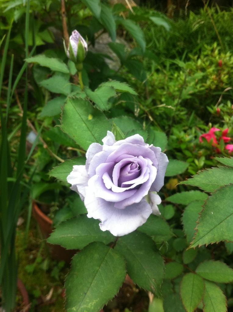 IMG_7471青い薔薇