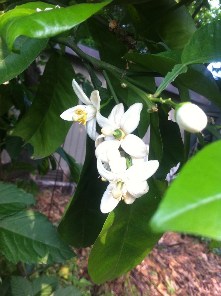 IMG_9776柑橘の花