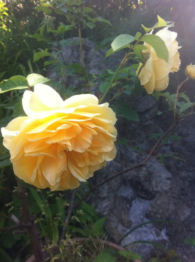 IMG_2472薔薇