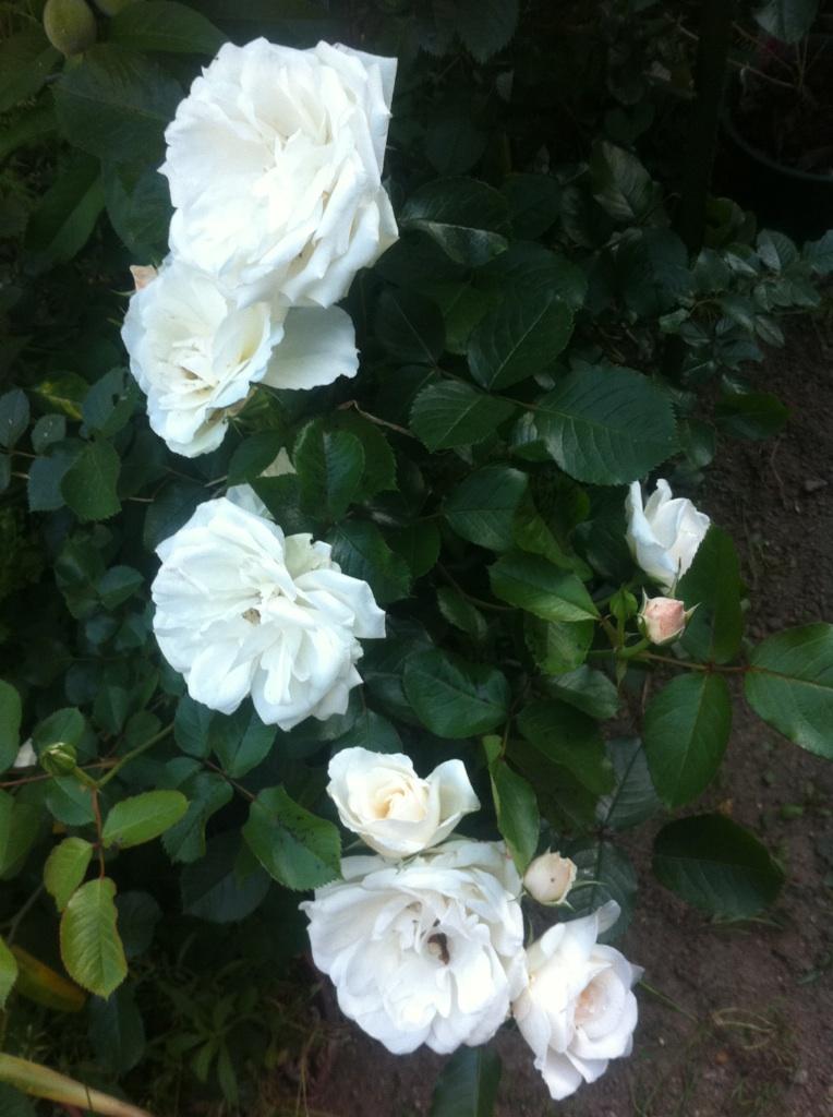 IMG_5888白薔薇