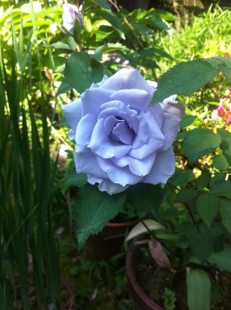 IMG_9344青い薔薇