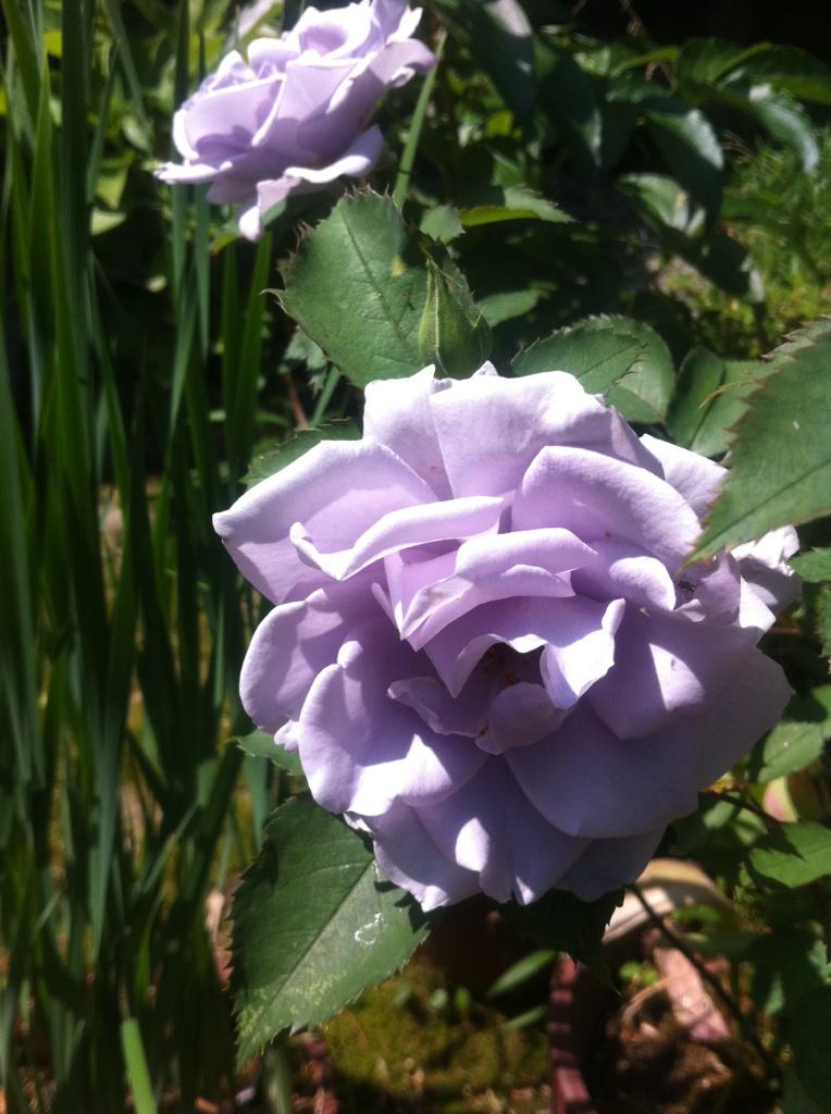 IMG_9464青い薔薇
