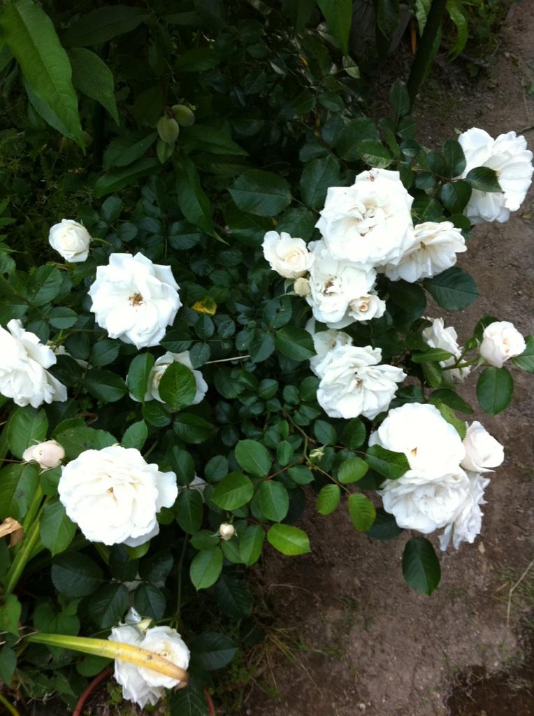 IMG_1914白い薔薇