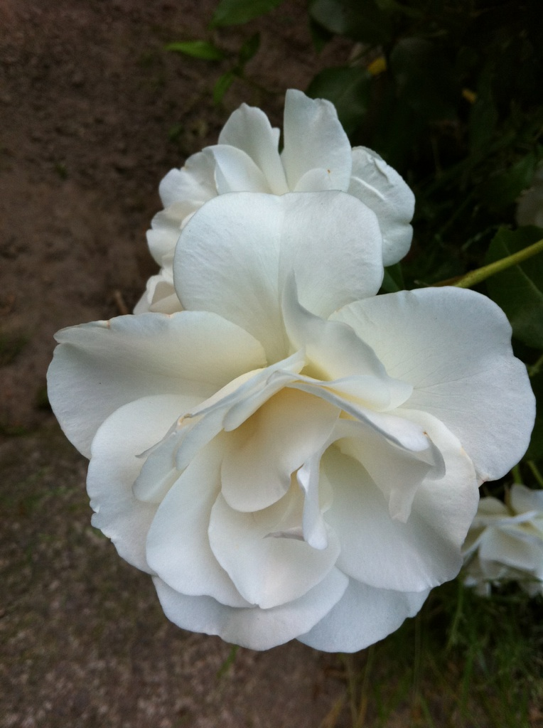IMG_4930白い薔薇