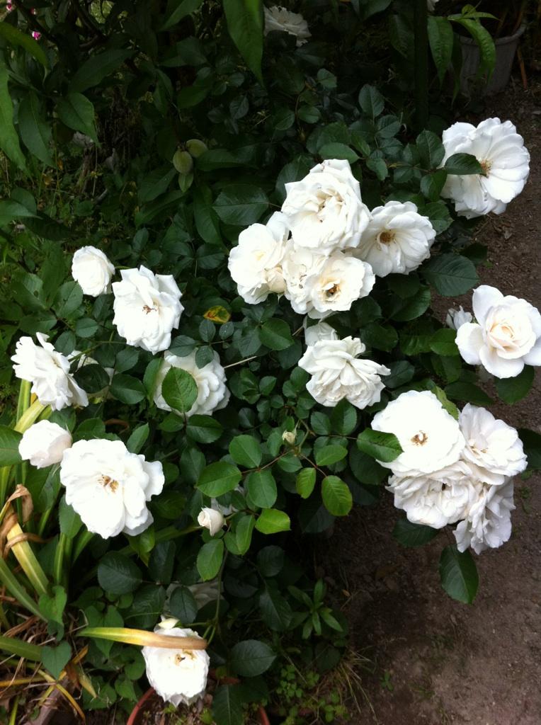 IMG_2776白薔薇