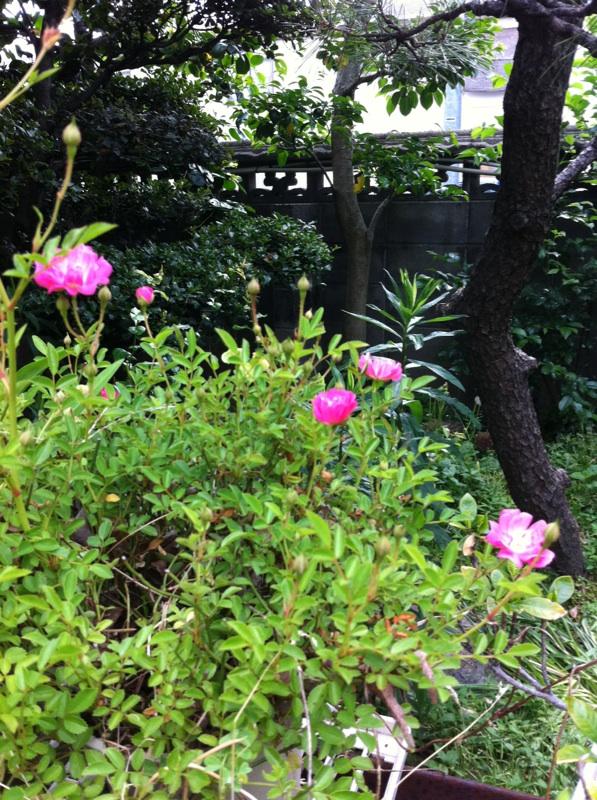 IMG_4149ミニ薔薇