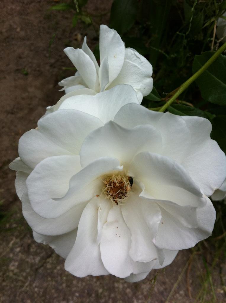 IMG_7422白薔薇