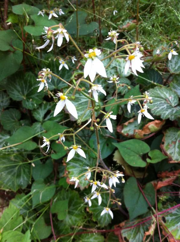 IMG_6484ユキノシタの花