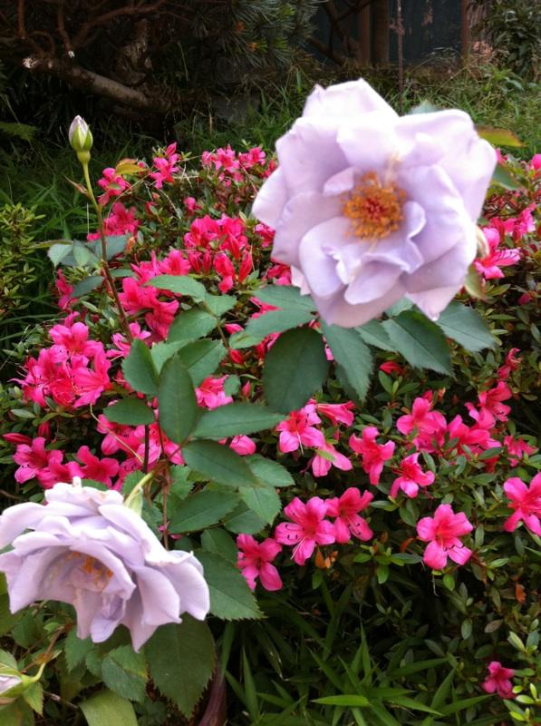 IMG_7996青い薔薇&サツキ
