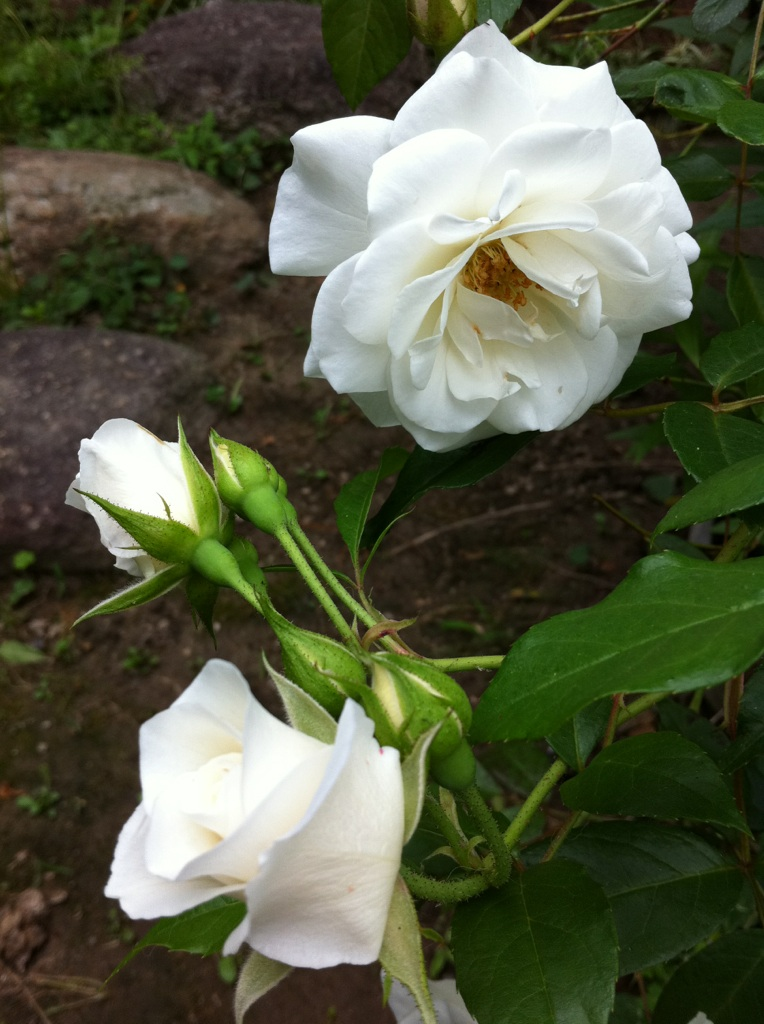 IMG_5845白薔薇