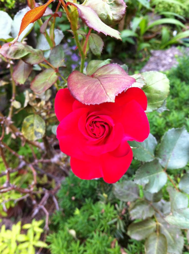 IMG_7951紅いバラ
