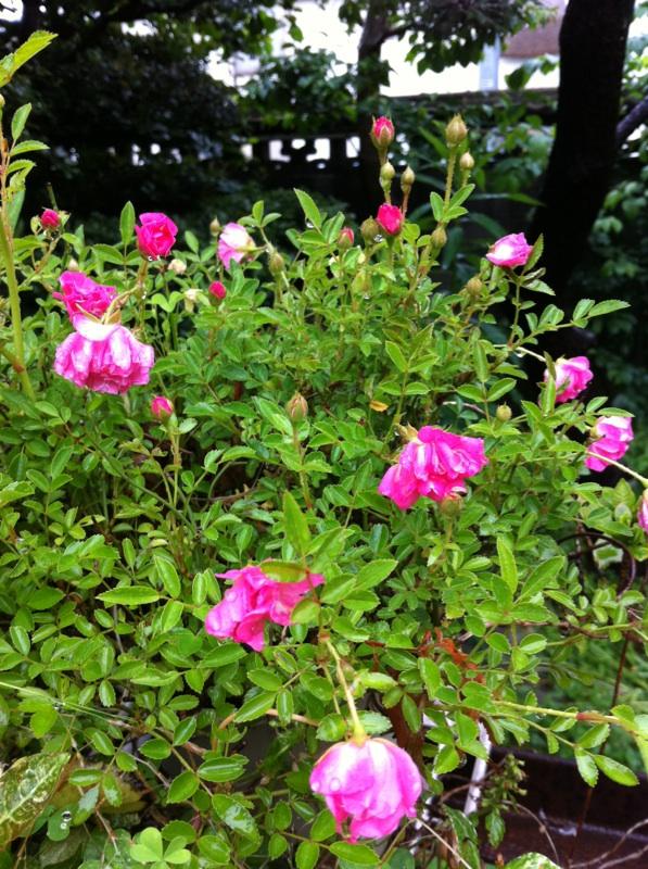 IMG_1487ミニ薔薇