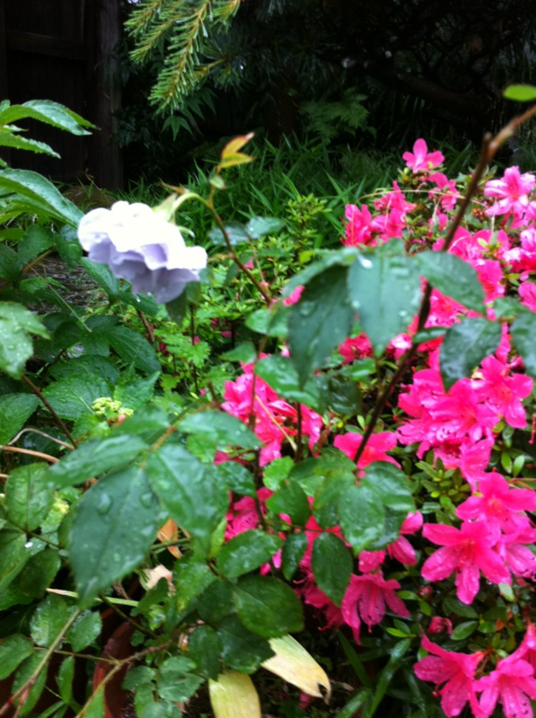 IMG_9105ブルーの薔薇&サツキ