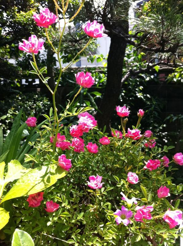 IMG_3754ミニ薔薇
