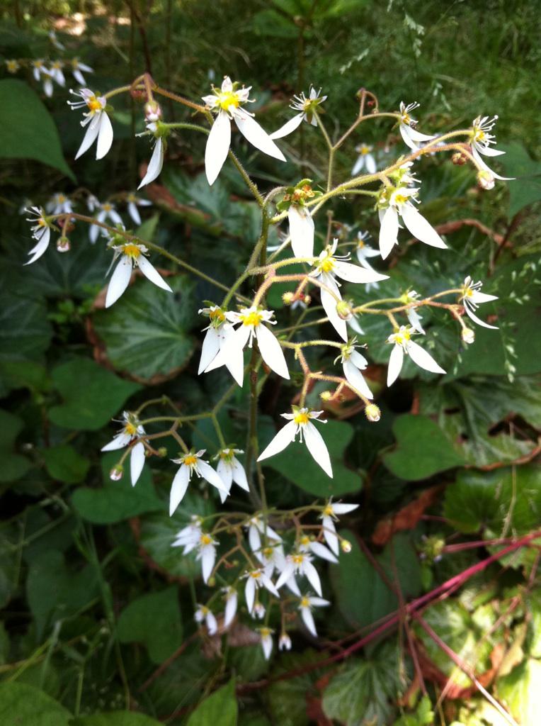 IMG_4647ユキノシタの花