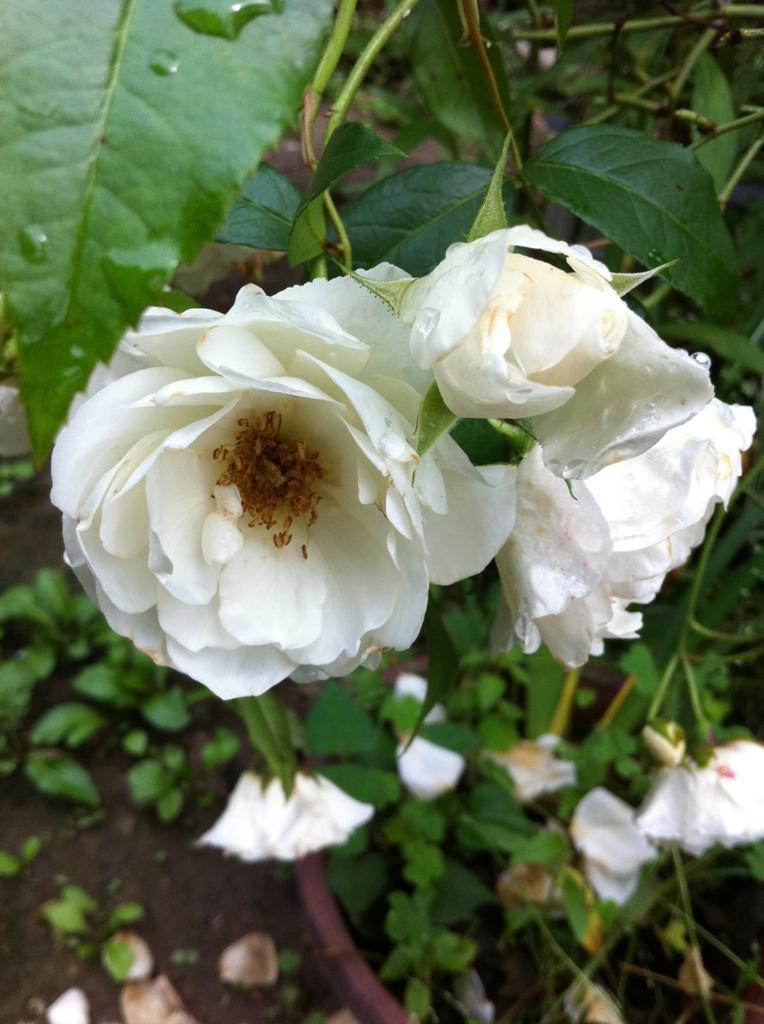 IMG_3542白薔薇