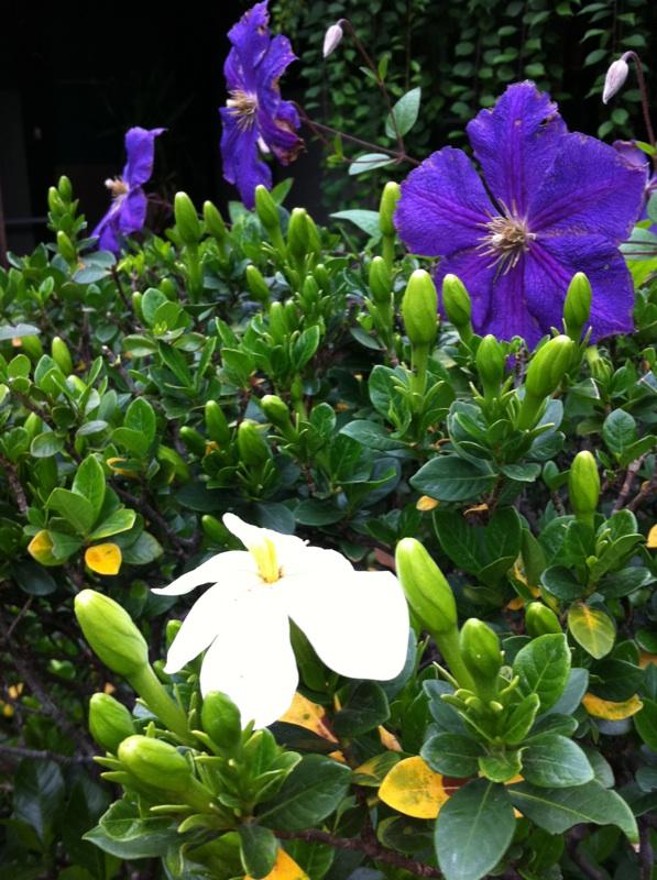 IMG_6523クチナシの花
