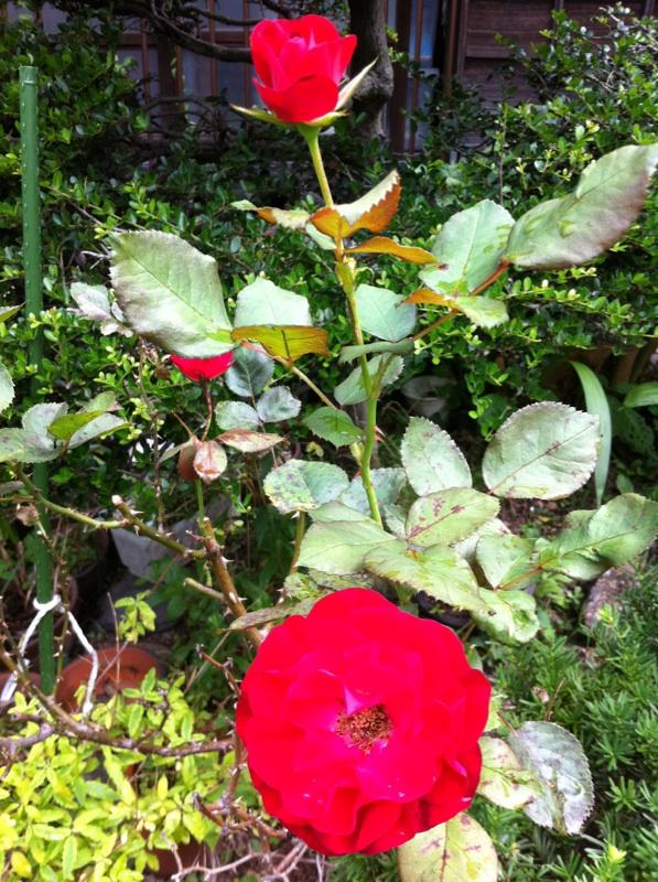 IMG_2559紅いバラ