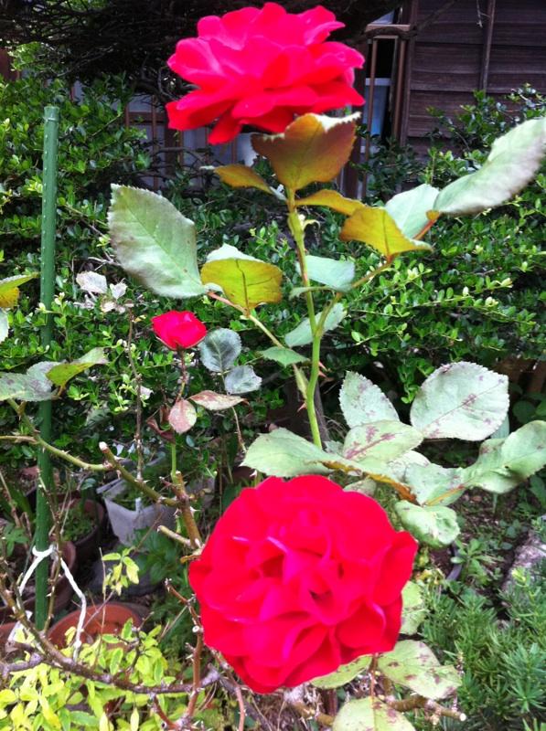 IMG_6515赤い薔薇